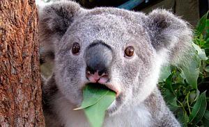 Click image for larger version  Name:606444_koala.jpg Views:55 Size:100.4 KB ID:13187