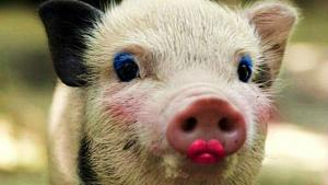 Click image for larger version  Name:Pretty Pig.jpg Views:121 Size:66.4 KB ID:14985