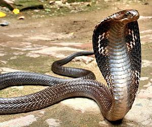 Click image for larger version  Name:king-cobra.jpg Views:103 Size:152.8 KB ID:16932