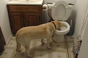Click image for larger version  Name:dog-drinking-from-toilet.jpg Views:84 Size:123.2 KB ID:9525